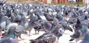 bird control coquitlam bc
