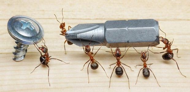 How do I get rid of big black ants?