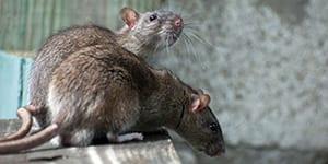 neighborhood rodent control surrey bc