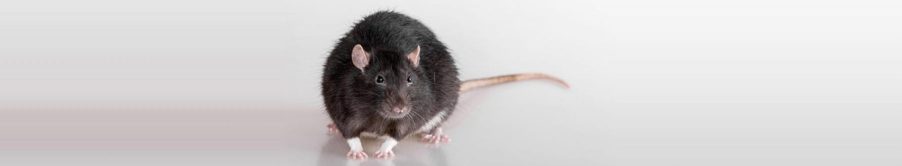 rodent exterminator vancouver bc