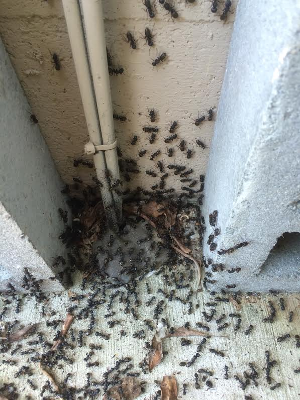 how to kill carpenter ants inside the house