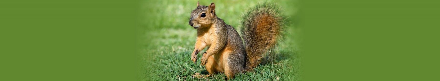 squirrel and wildlife control vancouver bc