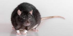 rodent control surrey bc