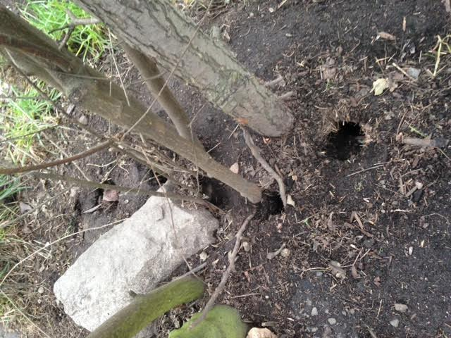 Rodent-burrows-vancouver-garden