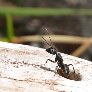 carpenter ant pest control