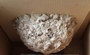 Wasp Nest in Lawn Bowling Club
