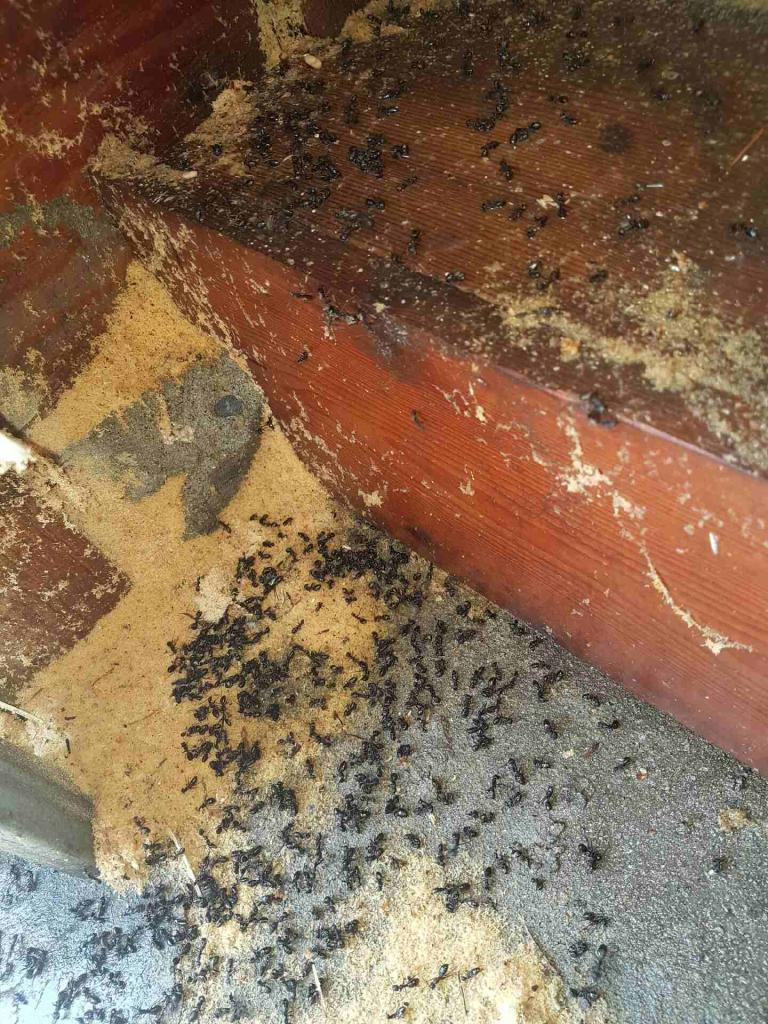 carpenter ant control vancouver bc call today for a free quote 604 559 9060. Black Bedroom Furniture Sets. Home Design Ideas