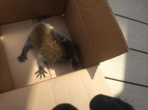 Humane Racoon Removal