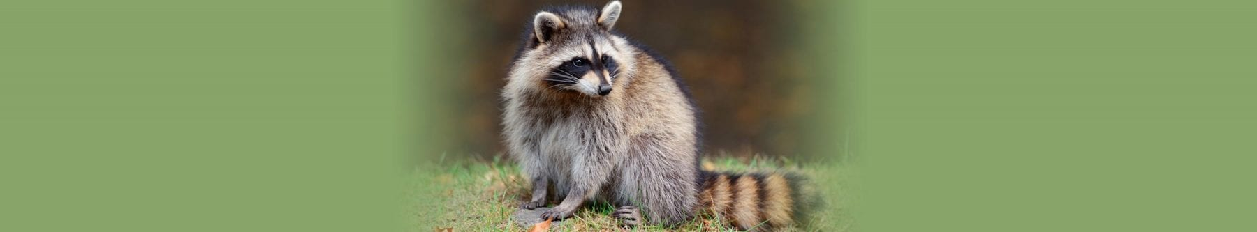humane racoon removal Metro Vancouver, BC - Westside Pest Control