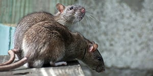 neighborhood rodent control surrey bc - Westside Pest Control