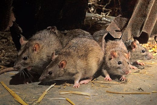 neighbourhood Rodent Control Vancouver, BC - Westside Pest Control