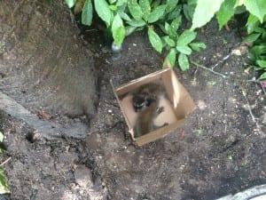 raccoon_removal_humane