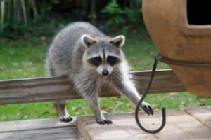burnaby racoon removal company - Westside Pest Control