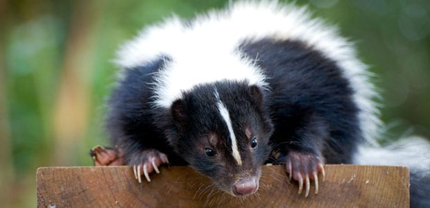 Skunk removal Metro Vancouver, BC - Westside Pest Control