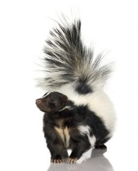 skunk removal New Westminster, BC - Westside Pest Control