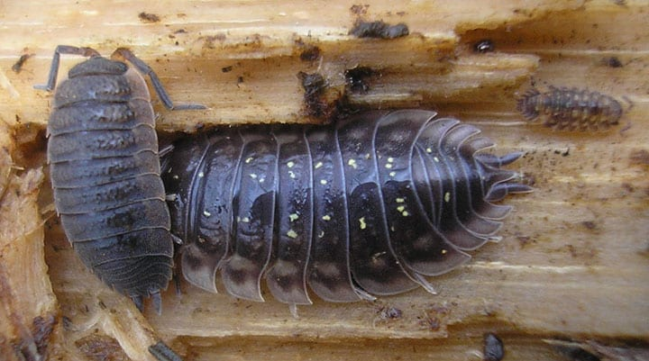 vancouver sow bug removal