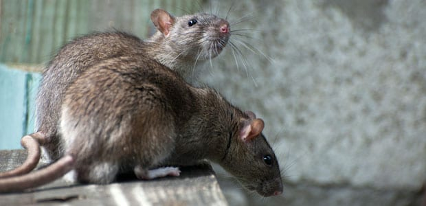 Rodent Control North Vancouver, BC - Westside Pest Control
