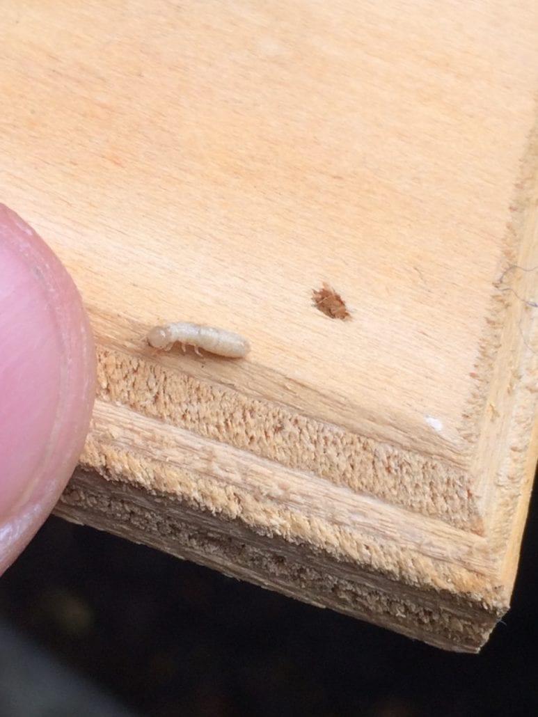 Drywood Termite Control Metro Vancouver, BC - Westside Pest Control