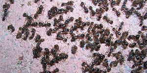 Pavement Ant Control Metro Vancouver, BC - Westside Pest Control