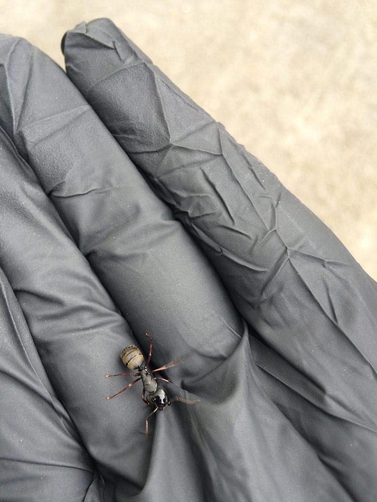 Carpenter Ant Control in Surrey, BC - Westside Pest Control