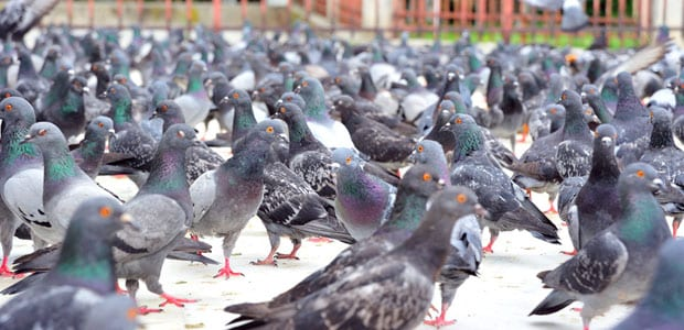 Bird Control Surrey, BC - Westside Pest Control