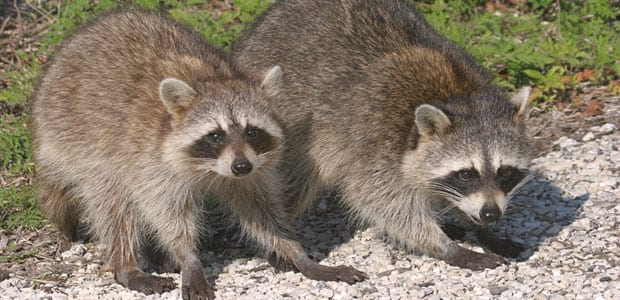 Raccoon Removal Metro Vancouver, BC - Westside Pest Control