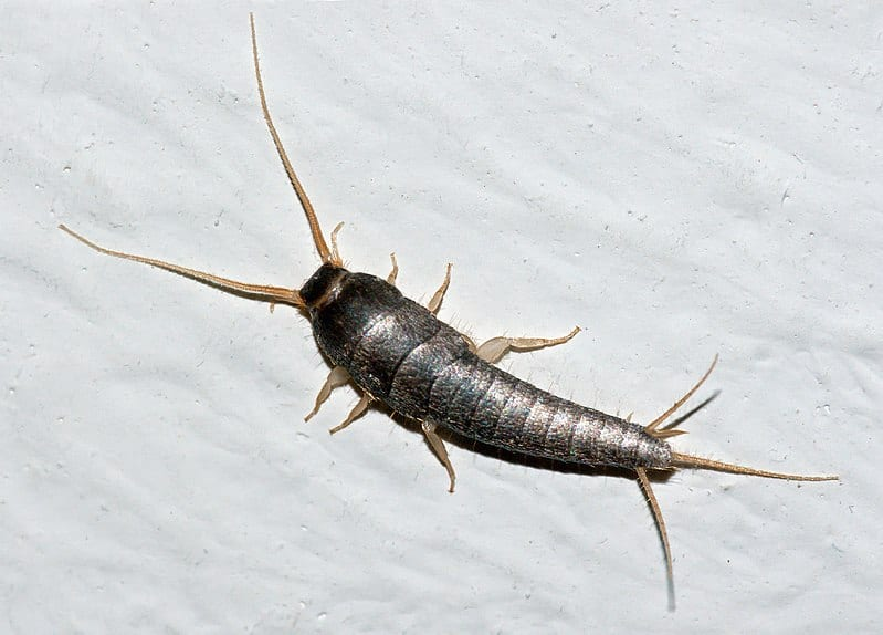Silverfish Control Metro Vancouver, BC - Westside Pest Control