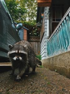 Raccoon removal Vancouver BC