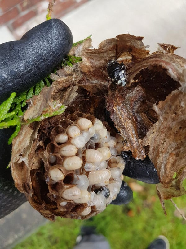 Hornets Nest opened to show larva