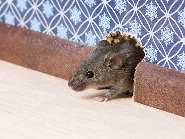 Mouse tunneling through house wall