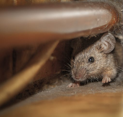 Mouse in opening of wall