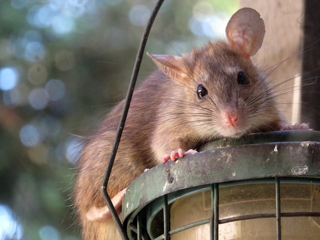 Rat on top of a light fixture