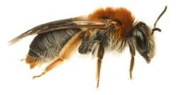 Andrena Bee Vancouver Westside Pest Control