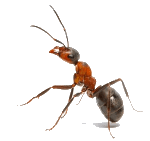 Ant Vancouver - Westside Pest Control