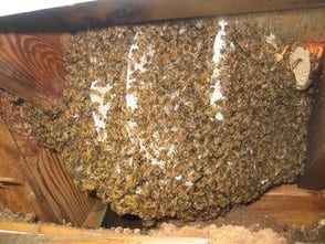 Bees Nest in Vancouver