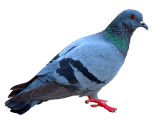 Pigeon Control Vancouver - Westside Pest Control