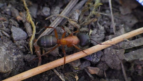 Camponotus-Vicinus-Carpenter-Ant - Westside Pest Control