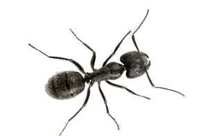 Carpenter Ant - Westside Pest Control Vancouver
