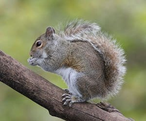 Eastern_Grey_Squirrel-vancouver-westside-pest-control