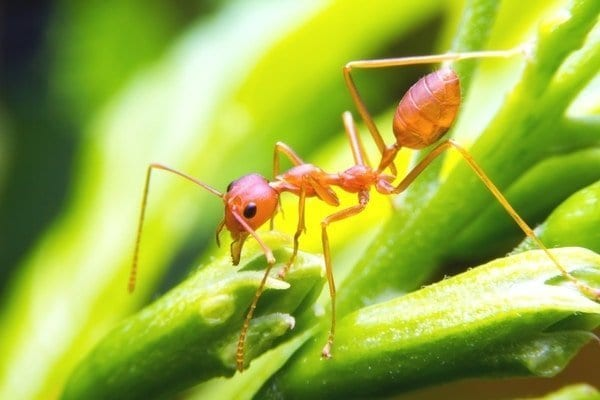 Fire Ant Control Vancouver Bc - Westside Pest Control