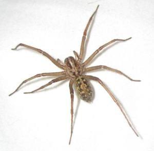 Hobo-spider-vancouver-westside-pest-control