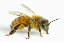 Honeybee-Vancouver-Westside-Pest-Control