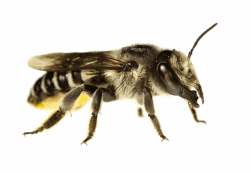 Leafcutter-Bee-Vancouver Westside Pest Control