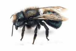 Mason-Bee-Vancouver-Westside-Pest-Control
