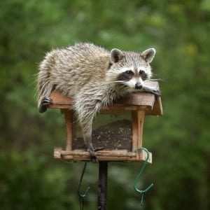 Raccon-Removal-Vancouver-Westside-Pest-Control
