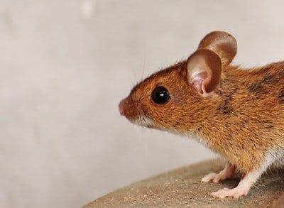 Rat Removal Vancouver - westside pest control