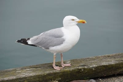 Seagull Removal Vancouver BC - Westside Pest Control