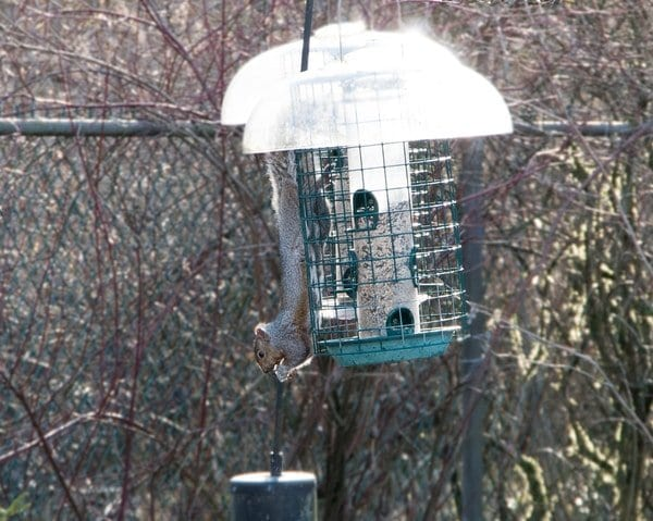 Squirrel in Bird Feeder Vancouver - Westside Pest Control