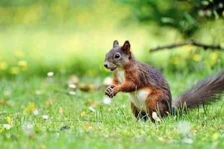 Squirrel vancouver