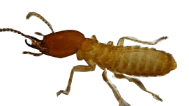 Termite Removal Vancouver - Westside Pest Control